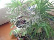 Продаю пальму веерную в Гомеле