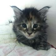 Мейн-кун,  котята