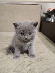 Котенок британской вислоухой даром в хорошие руки